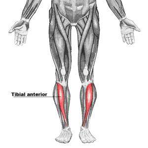 Anatomía del tibial anterior y la causa de la periostitis
