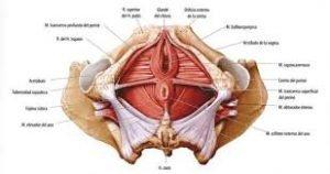 imagen esquemática del suelo pelvico para entnder las disfunciones y lo que la fisitoerapia puede hacer