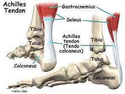 esquema de la anatomía del tendón de aquiles