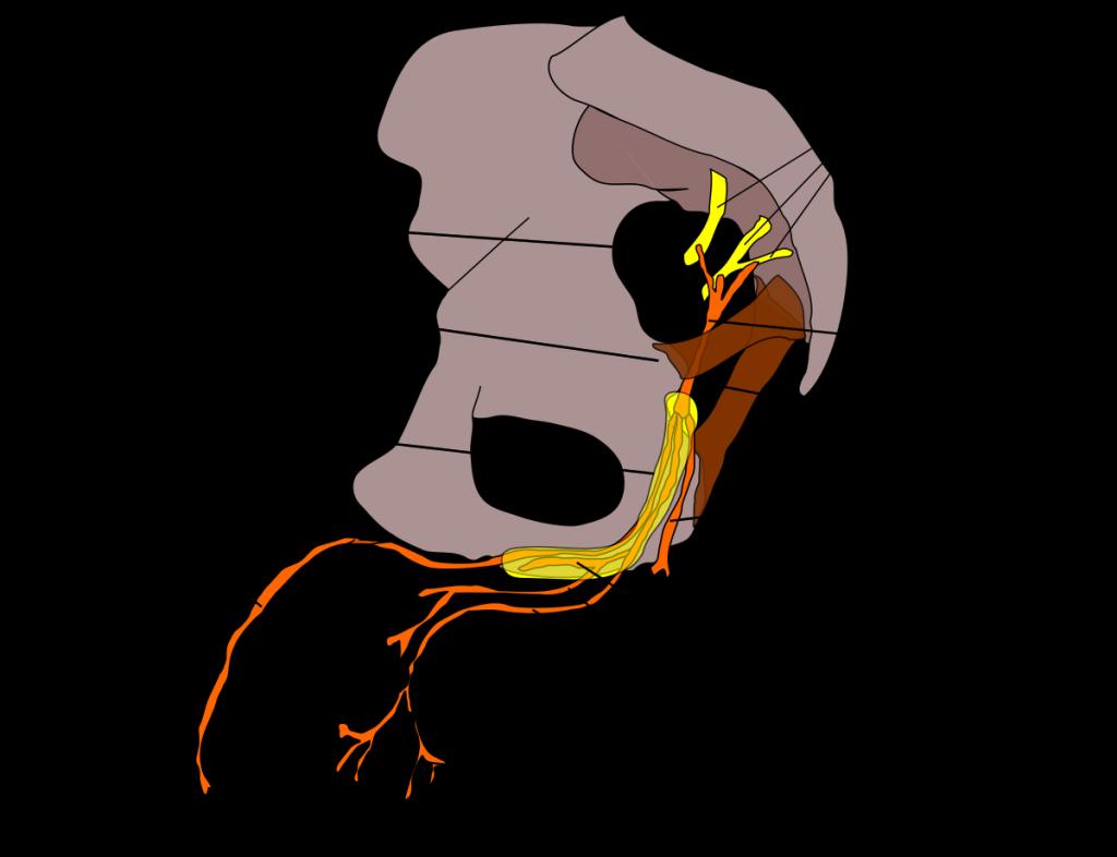 esquema de la anatomía del nervio pudendo