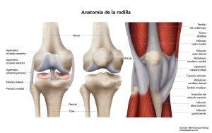 imagen de una rodilla y su anatomia